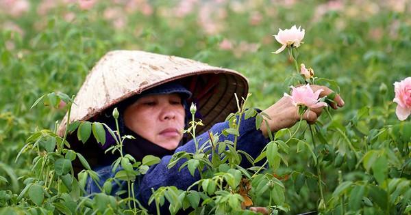 Nông dân Tây Tựu 'nuốt nước mắt' cắt bỏ cả ruộng hoa