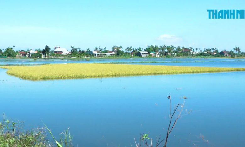 Công an Quảng Ngãi ra đồng giúp dân thu hoạch lúa sau bão số 5 | Phóng sự