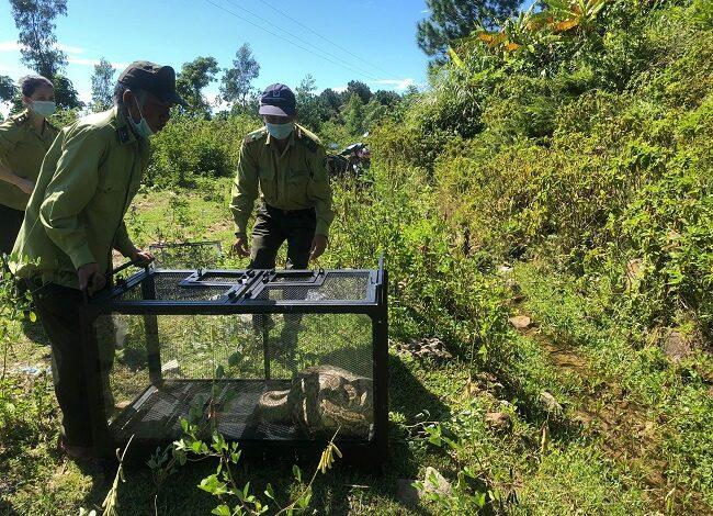 Trăn gấm 17kg lạc vào khu dân cư Đà Nẵng được thả về tự nhiên | Đời sống