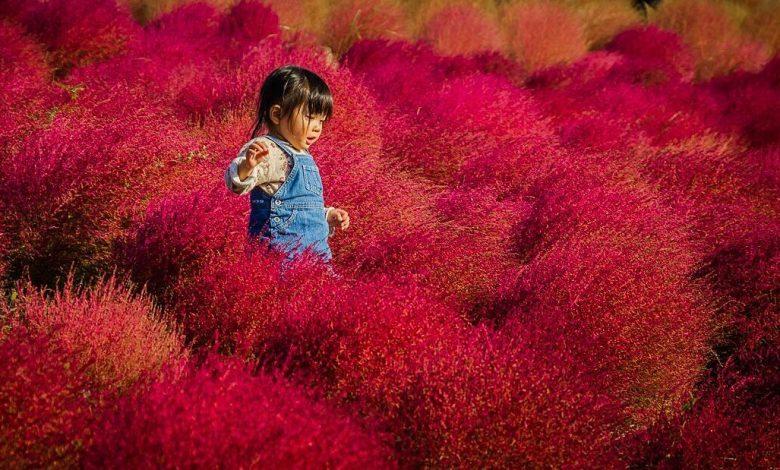 Mùa cỏ kochia nhuộm đỏ khắp Nhật Bản