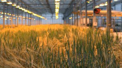 Trồng lúa mạch để tạo ra thịt trong phòng thí nghiệm
